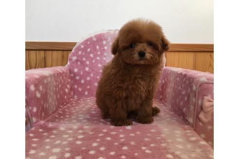 トイプードルの子犬(ID:1254311121)の1枚目の写真/更新日:2021-02-27