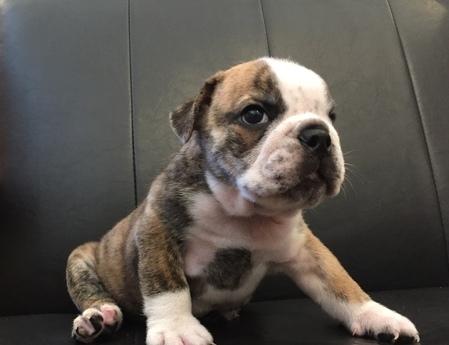 ブルドッグの子犬(ID:1254311125)の1枚目の写真/更新日:2019-09-16
