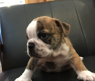 ブルドッグの子犬(ID:1254311125)の3枚目の写真/更新日:2019-09-16
