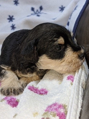 ミニチュアシュナウザーの子犬(ID:1254511014)の3枚目の写真/更新日:2021-01-24