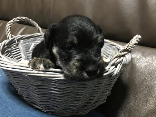 ミニチュアシュナウザーの子犬(ID:1254511015)の1枚目の写真/更新日:2021-01-24