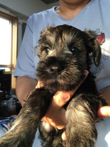 ミニチュアシュナウザーの子犬(ID:1254511016)の1枚目の写真/更新日:2021-07-31