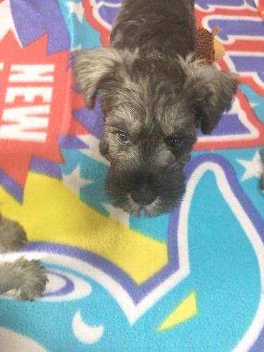ミニチュアシュナウザーの子犬(ID:1254511016)の4枚目の写真/更新日:2021-07-31