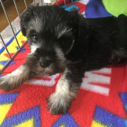 ミニチュアシュナウザーの子犬(ID:1254511017)の1枚目の写真/更新日:2021-07-31