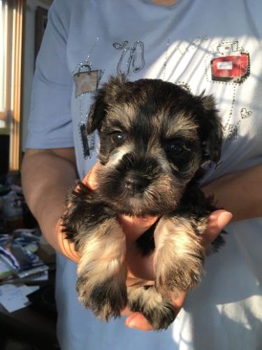 ミニチュアシュナウザーの子犬(ID:1254511017)の2枚目の写真/更新日:2021-07-31
