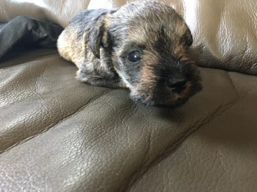ミニチュアシュナウザーの子犬(ID:1254511018)の2枚目の写真/更新日:2021-07-18