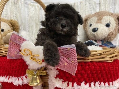 トイプードルの子犬(ID:1254711001)の1枚目の写真/更新日:2018-06-11