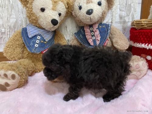 トイプードルの子犬(ID:1254711001)の3枚目の写真/更新日:2018-06-11