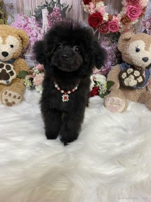 トイプードルの子犬(ID:1254711003)の2枚目の写真/更新日:2018-06-15