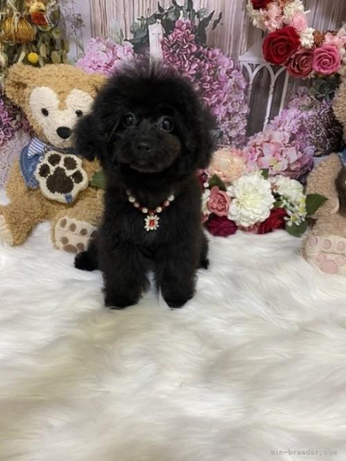 トイプードルの子犬(ID:1254711003)の3枚目の写真/更新日:2018-06-15