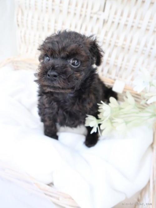 トイプードルの子犬(ID:1254711004)の2枚目の写真/更新日:2018-06-15