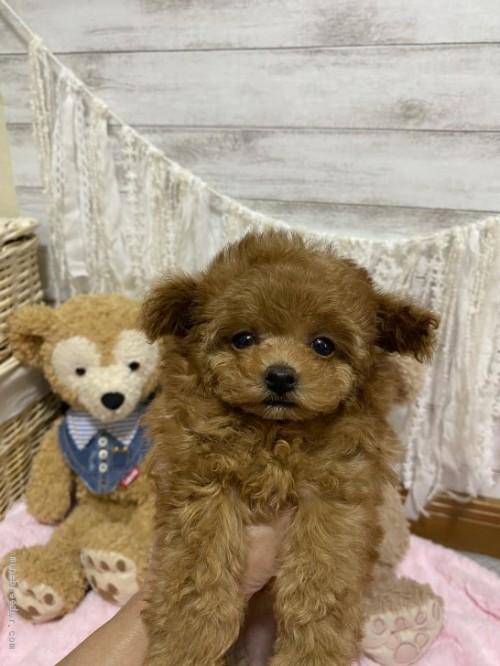 トイプードルの子犬(ID:1254711007)の2枚目の写真/更新日:2018-06-18