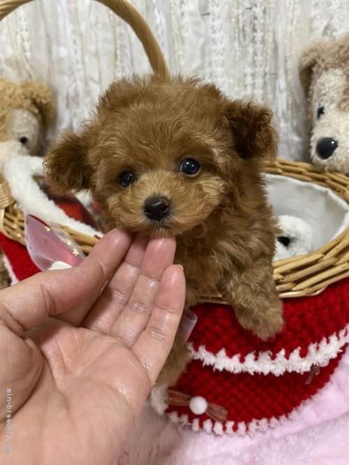 トイプードルの子犬(ID:1254711007)の3枚目の写真/更新日:2018-06-18