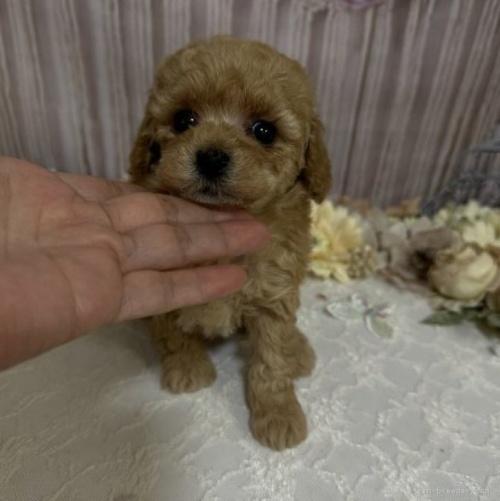 トイプードルの子犬(ID:1254711015)の1枚目の写真/更新日:2018-06-29