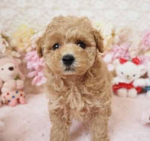 トイプードルの子犬(ID:1254711017)の1枚目の写真/更新日:2018-06-18