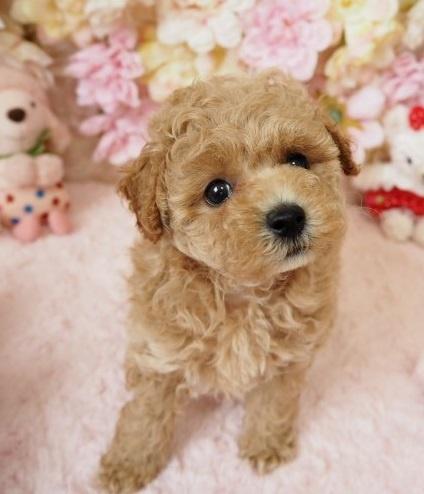 トイプードルの子犬(ID:1254711017)の2枚目の写真/更新日:2018-06-18