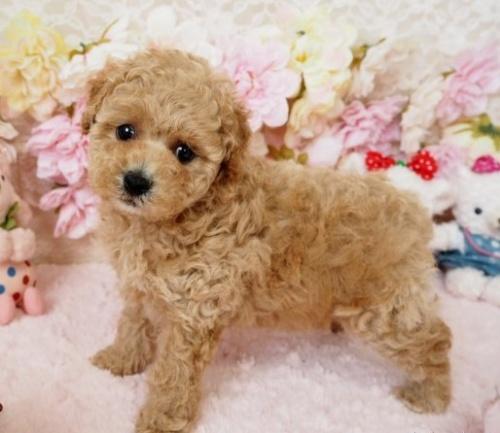 トイプードルの子犬(ID:1254711017)の4枚目の写真/更新日:2018-06-18