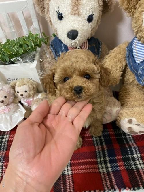 トイプードルの子犬(ID:1254711036)の1枚目の写真/更新日:2017-02-03