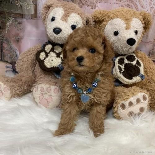 トイプードルの子犬(ID:1254711037)の2枚目の写真/更新日:2017-02-03