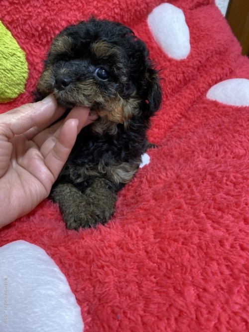 トイプードルの子犬(ID:1254711040)の3枚目の写真/更新日:2017-08-04