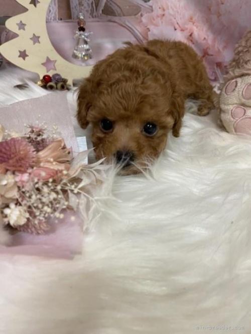 トイプードルの子犬(ID:1254711042)の2枚目の写真/更新日:2017-10-05