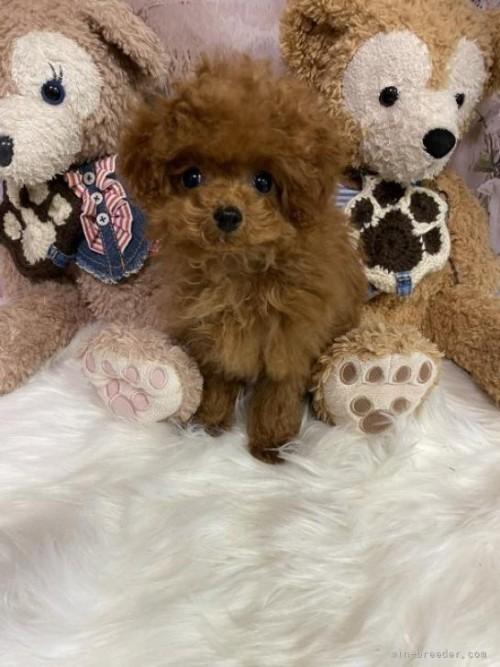 トイプードルの子犬(ID:1254711044)の2枚目の写真/更新日:2017-10-30