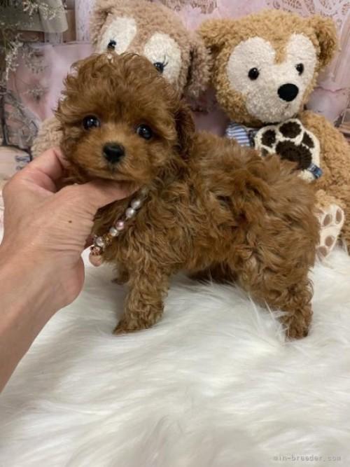 トイプードルの子犬(ID:1254711045)の2枚目の写真/更新日:2018-01-12