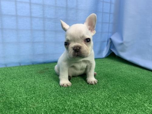 フレンチブルドッグの子犬(ID:1254911081)の1枚目の写真/更新日:2018-07-23