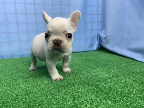 フレンチブルドッグの子犬(ID:1254911081)の2枚目の写真/更新日:2018-07-23