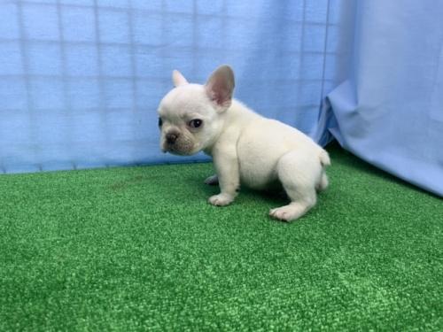 フレンチブルドッグの子犬(ID:1254911081)の3枚目の写真/更新日:2018-07-23