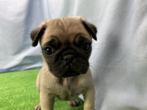 パグの子犬(ID:1254911083)の1枚目の写真/更新日:2019-10-28