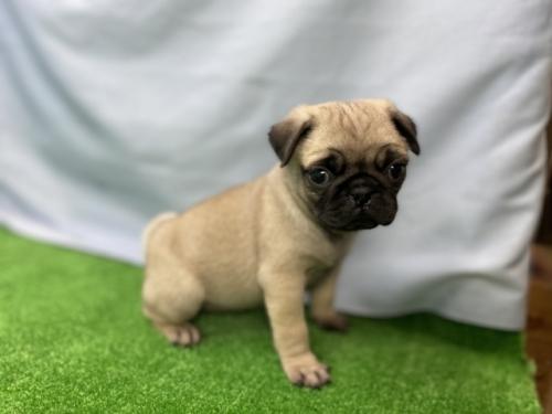 パグの子犬(ID:1254911083)の2枚目の写真/更新日:2019-10-28