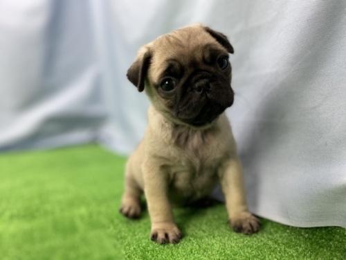 パグの子犬(ID:1254911083)の3枚目の写真/更新日:2019-10-28