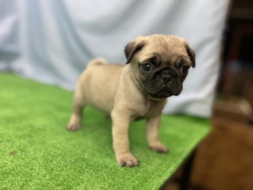 パグの子犬(ID:1254911083)の4枚目の写真/更新日:2016-12-26