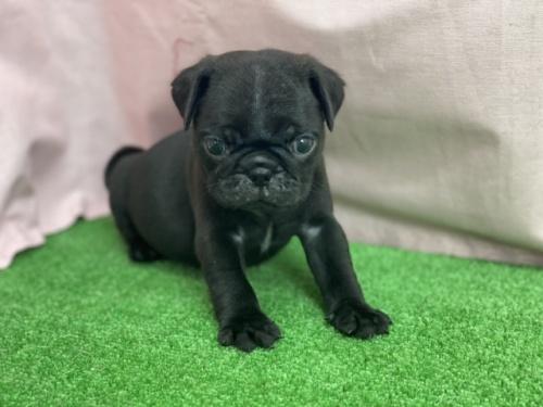 パグの子犬(ID:1254911084)の1枚目の写真/更新日:2021-07-22