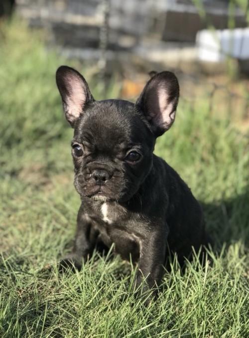 フレンチブルドッグの子犬(ID:1254911089)の1枚目の写真/更新日:2017-04-24