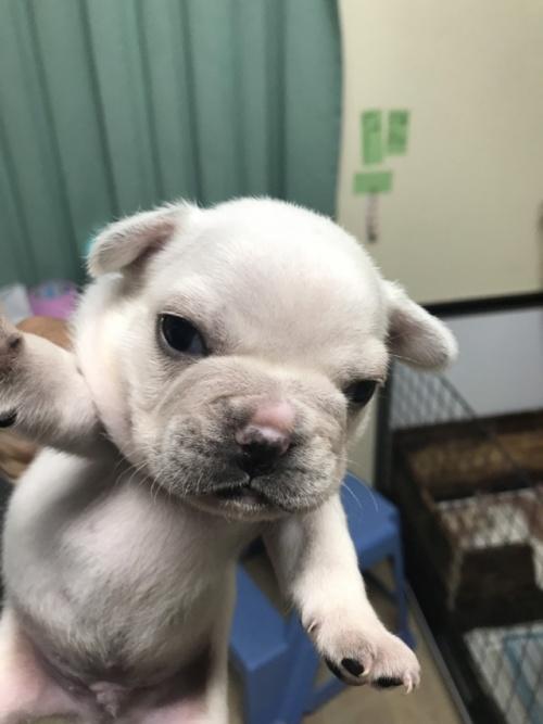 フレンチブルドッグの子犬(ID:1254911091)の1枚目の写真/更新日:2019-02-04