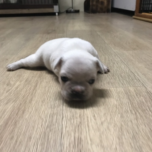 フレンチブルドッグの子犬(ID:1254911091)の2枚目の写真/更新日:2019-02-04