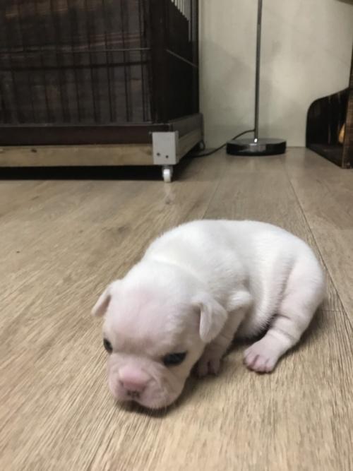 フレンチブルドッグの子犬(ID:1254911092)の3枚目の写真/更新日:2019-02-08