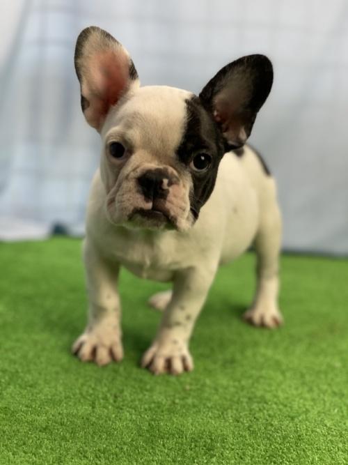 フレンチブルドッグの子犬(ID:1254911093)の2枚目の写真/更新日:2017-06-03