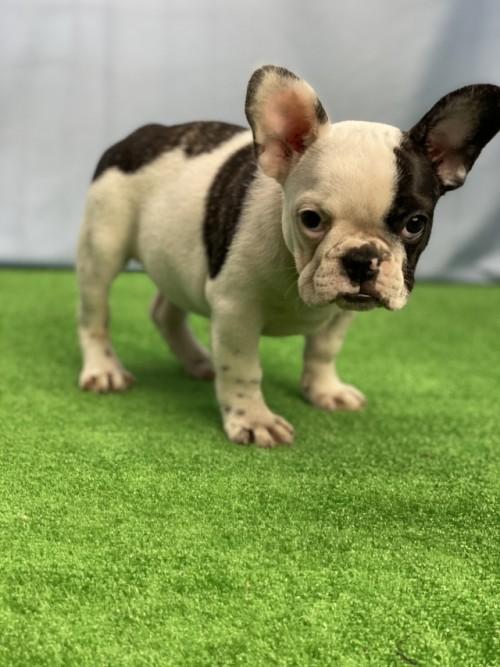 フレンチブルドッグの子犬(ID:1254911093)の3枚目の写真/更新日:2017-06-03