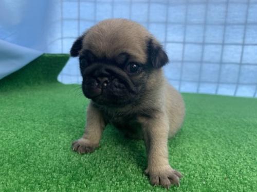 パグの子犬(ID:1254911094)の2枚目の写真/更新日:2017-06-26