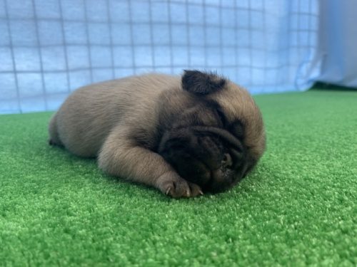パグの子犬(ID:1254911094)の3枚目の写真/更新日:2017-06-26