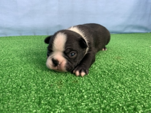 ボストンテリアの子犬(ID:1254911097)の1枚目の写真/更新日:2017-07-17