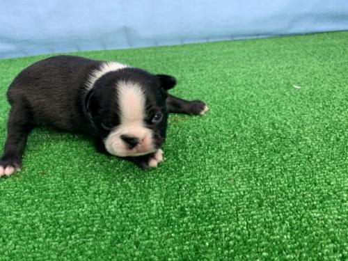ボストンテリアの子犬(ID:1254911097)の2枚目の写真/更新日:2017-07-17