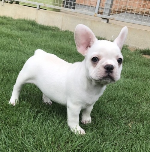 フレンチブルドッグの子犬(ID:1254911098)の3枚目の写真/更新日:2017-08-14