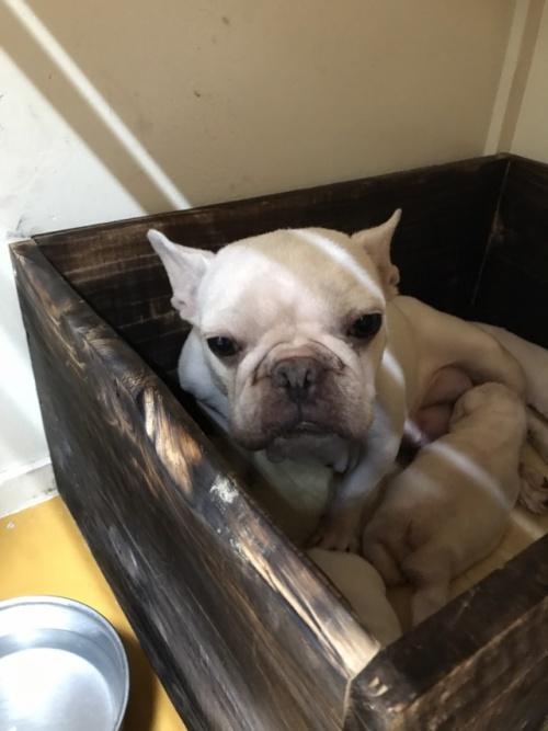 フレンチブルドッグの子犬(ID:1254911098)の5枚目の写真/更新日:2017-08-14