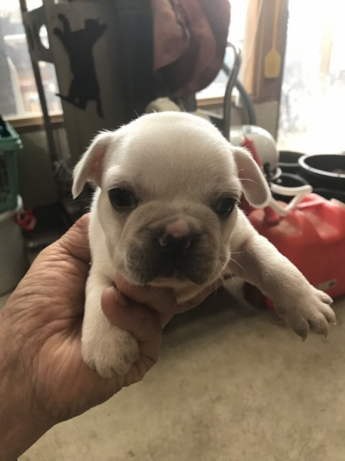 フレンチブルドッグの子犬(ID:1254911099)の1枚目の写真/更新日:2017-07-11