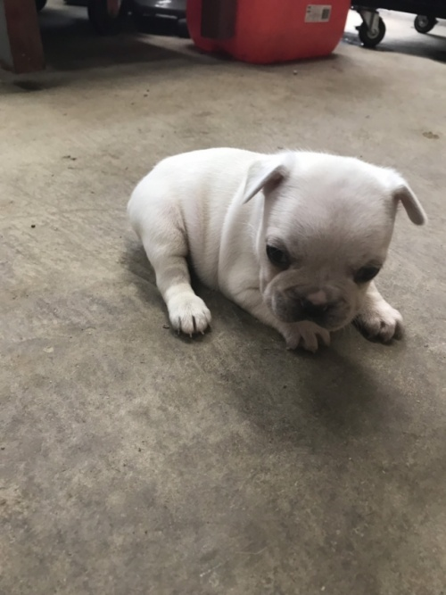 フレンチブルドッグの子犬(ID:1254911099)の2枚目の写真/更新日:2019-02-08