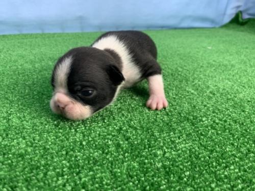 ボストンテリアの子犬(ID:1254911100)の1枚目の写真/更新日:2017-07-22